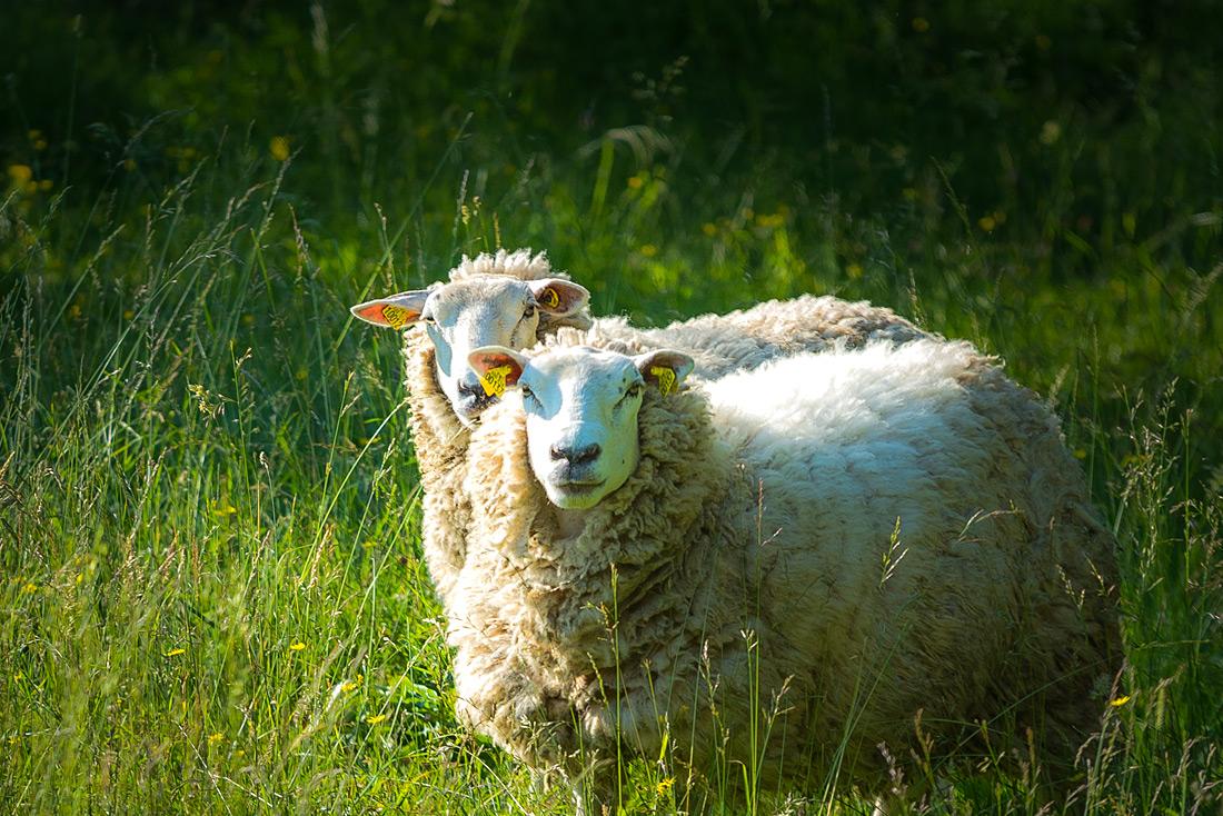 Mouton de  Bruno Nurit à St Hilaire du Touvet